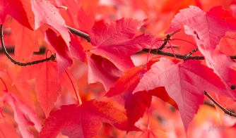 photo of red maple leaves