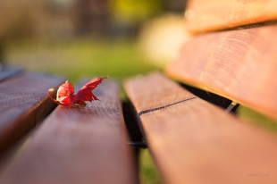Curled-maple-leaf-on-bench