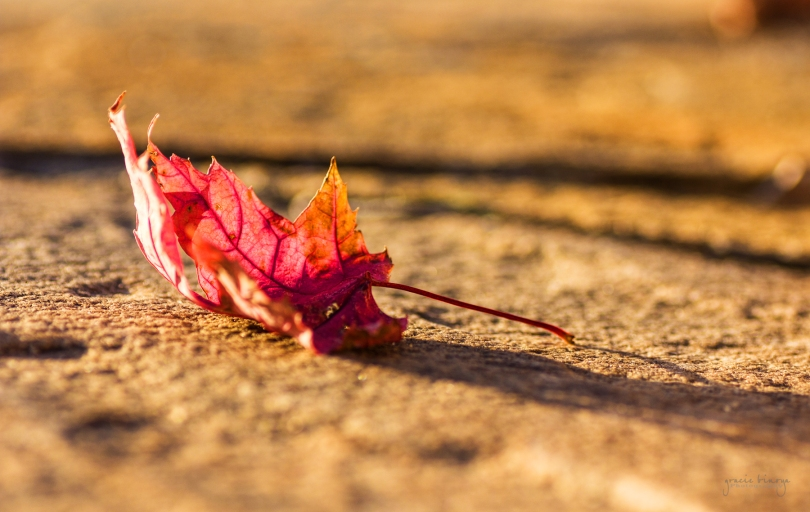 Sidelit-red-maple-leaf-on-rock