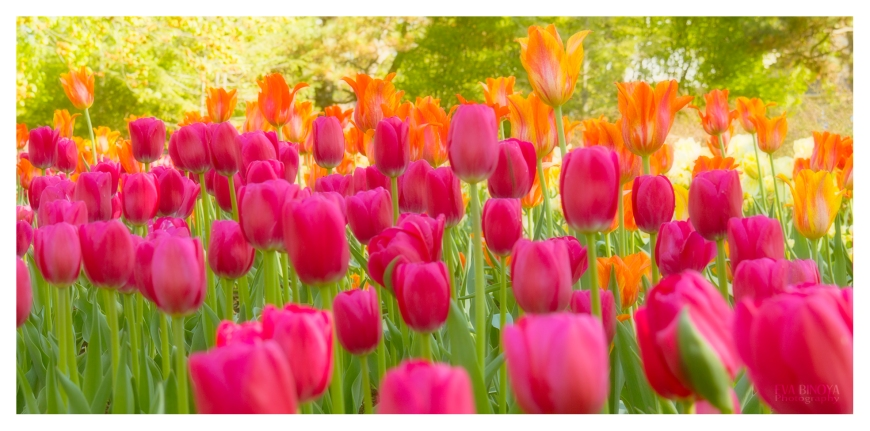Tulips in panorama