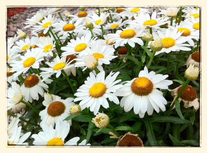 White Daisies | iPhone 4S | Edited with Snapseed