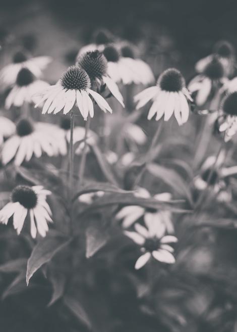 echinacea_bw