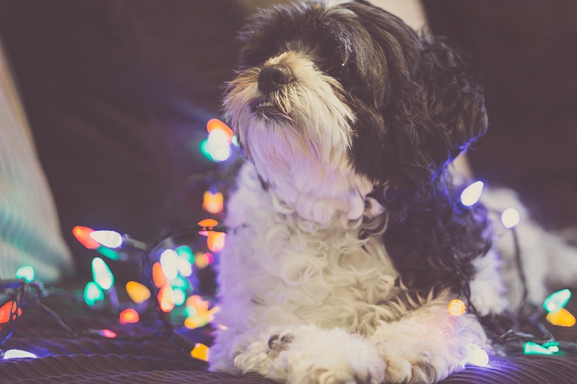Dog_christmas_lights